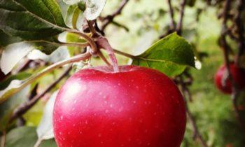 Omenapalkalla talkoisiin! Tänään puutarhan syystöitä Kumpulan koulukasvitarhalla…